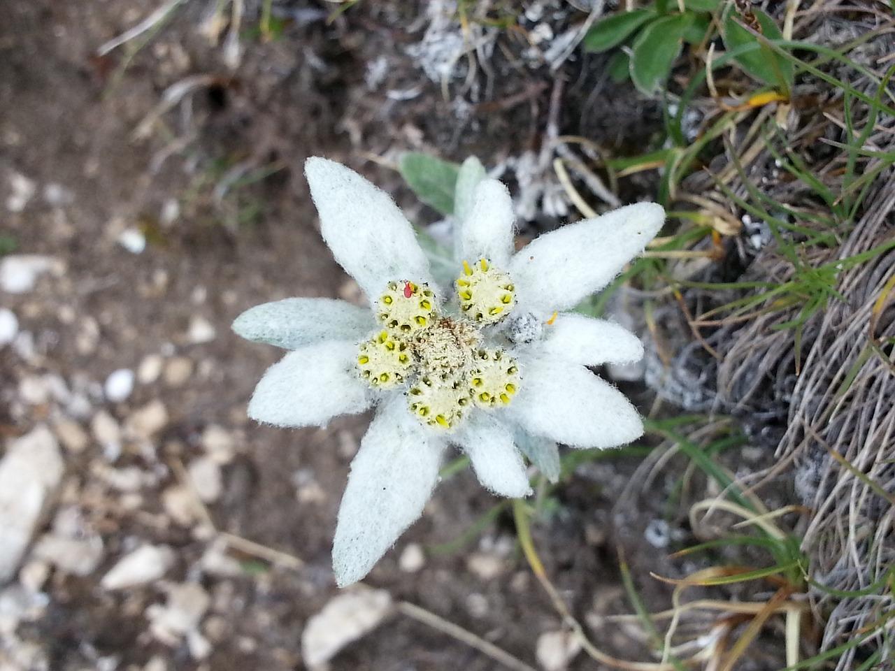 Альпийский цветок эдельвейс и его выращивание из семян в 28