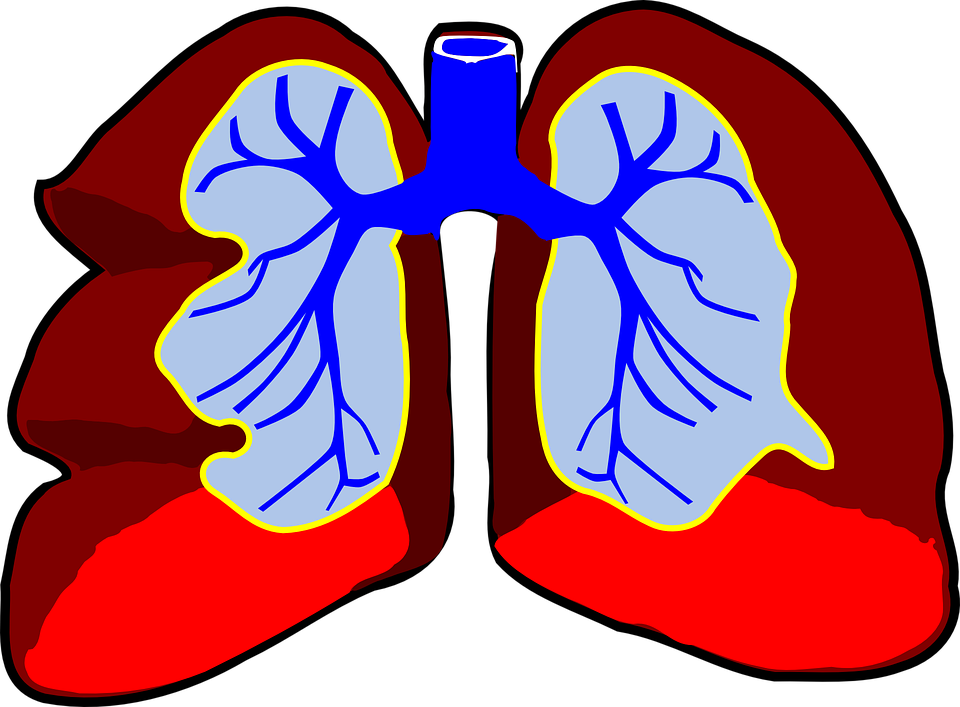 Lungs Human Anatomy · Free vector graphic on Pixabay