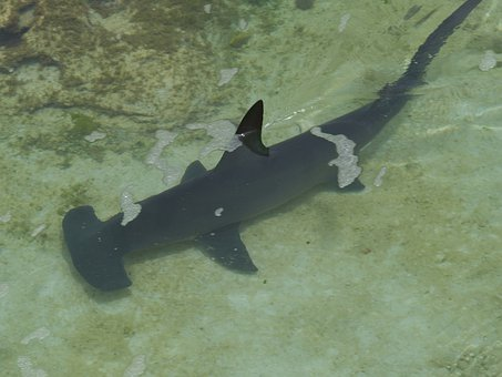 Hammerhead Shark Shark Underwater Fish Sea
