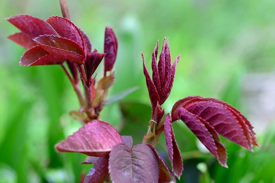 Bush Red Leaves Perennial Free Photo On Pixabay