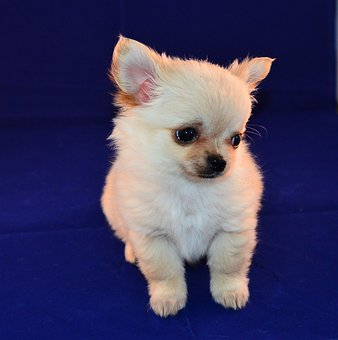 Chihuahua, Puppy, Sweet, Little Dog