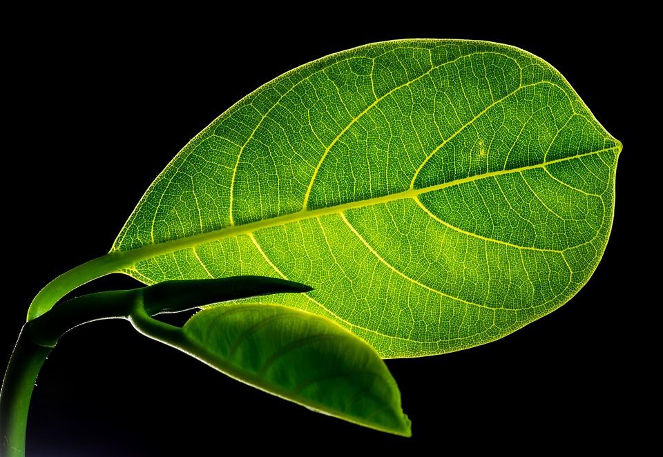 葉, パラミツ, 植物, 自然, クローズアップ