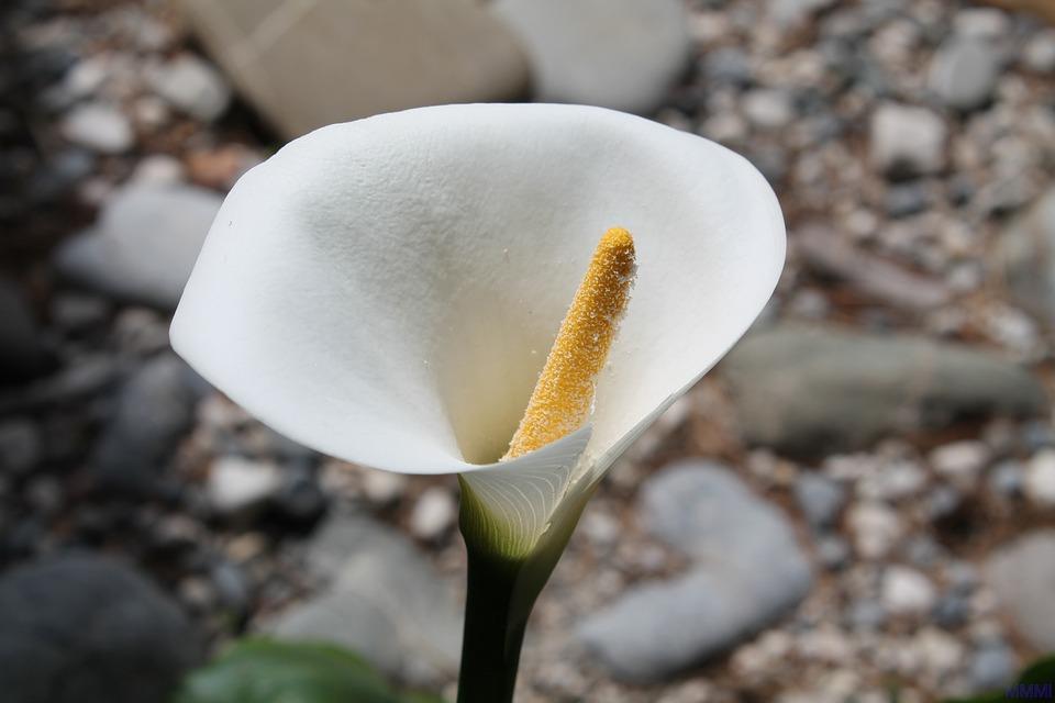 Blumen im märz  Kostenloses Foto: Calla, Blumen, Weiße Blume, Blume - Kostenloses ...
