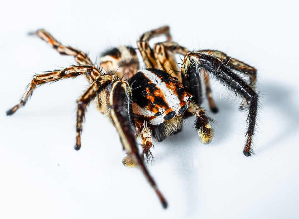 jumping spider small spider spider insect close