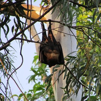 Bats, Dharwad, Bat-Eared, India, Mamma