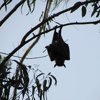 Dharwad India Bat Fly Wings Wildlife Wild
