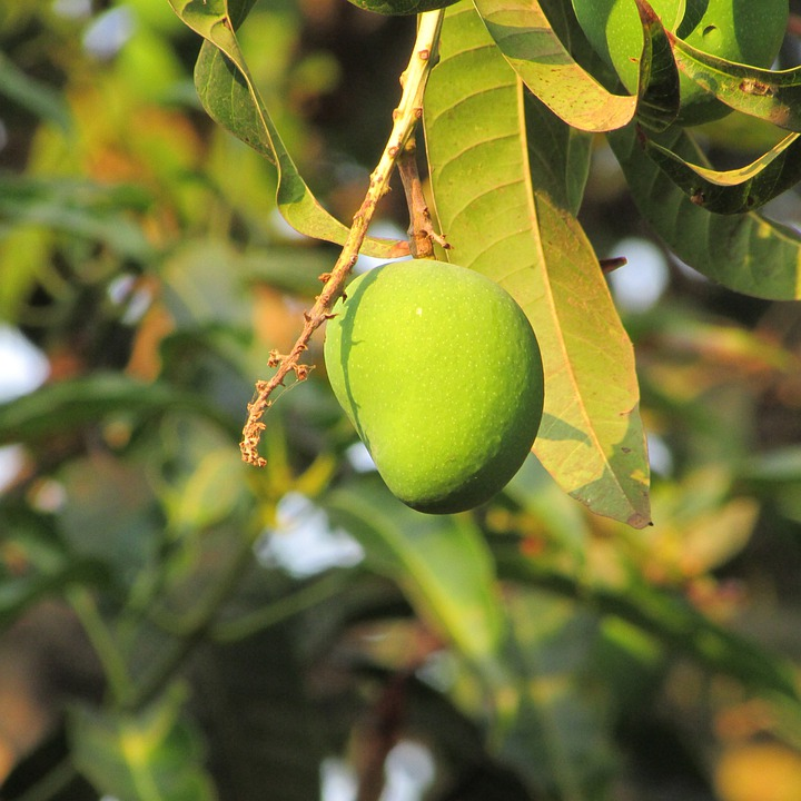 autobiography on a mango tree A mango is a type of fruit the mango tree is native to south asia, from where it  has been taken to become one of the most widely cultivated fruits in the tropics.