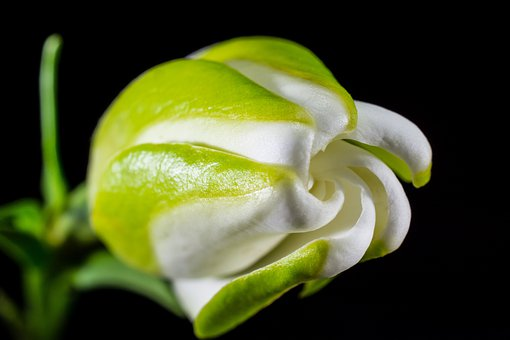 white, flowers  free images on pixabay, Beautiful flower