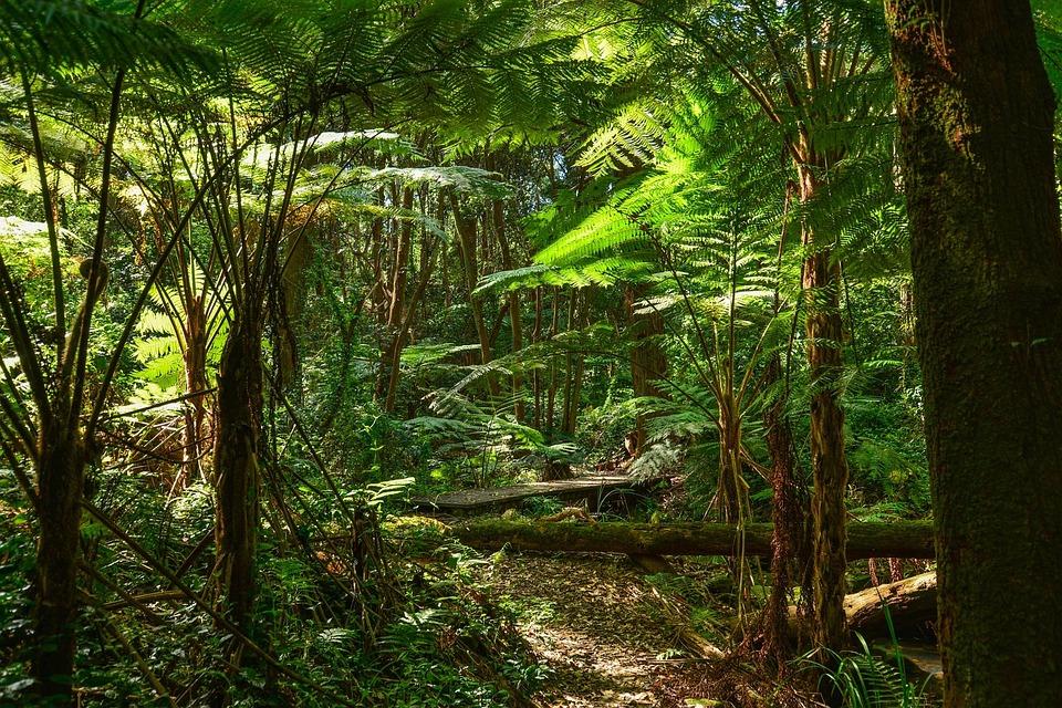 Fougères Arborescentes | Pixabay