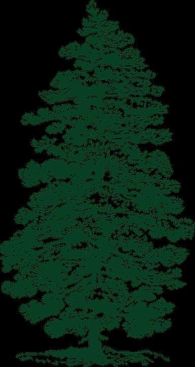 モミの木 針葉樹 モミ Pixabayの無料ベクター素材