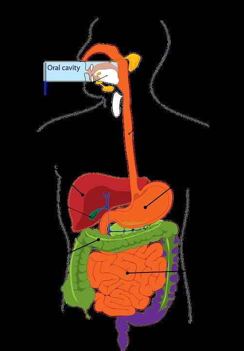 Verdauung Darm Magen · Kostenlose Vektorgrafik auf Pixabay
