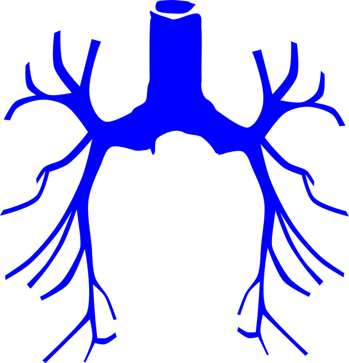 Atemwege System Lunge · Kostenlose Vektorgrafik auf Pixabay