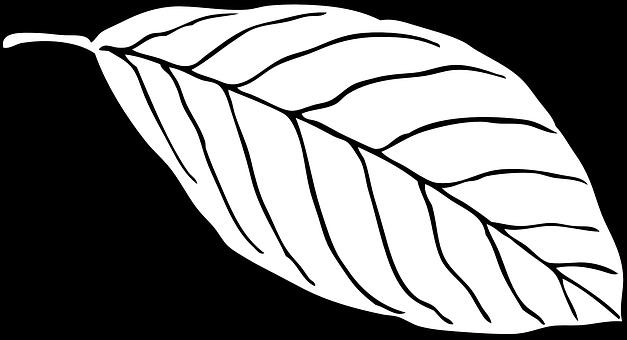 Leaf White Beech Outline Vein Nerve L