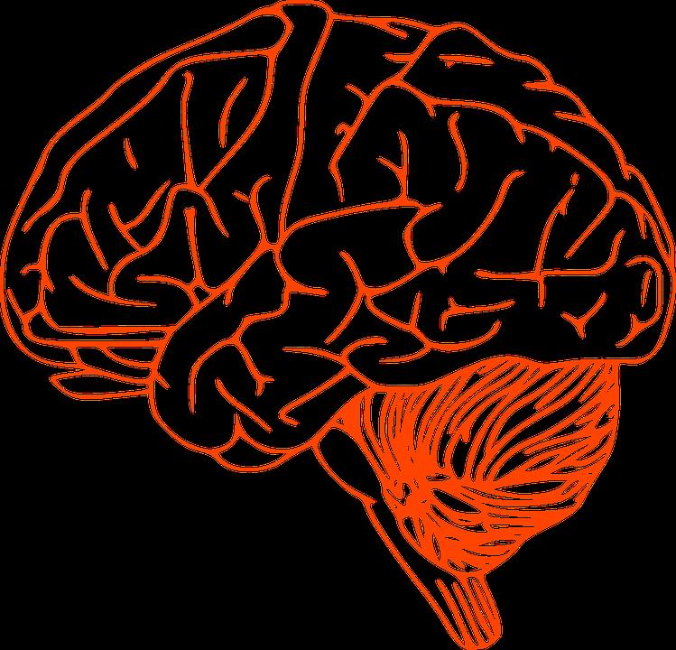 Brain Stem Cerebrum Spinal - Free vector graphic on Pixabay