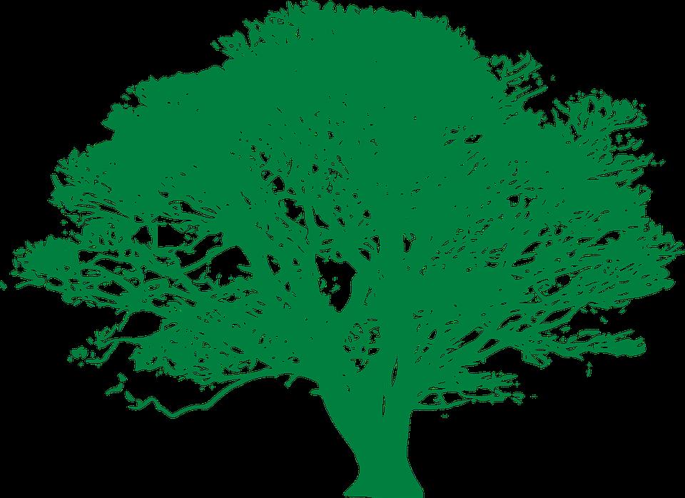 Tree Deciduous Ficus Free Vector Graphic On Pixabay