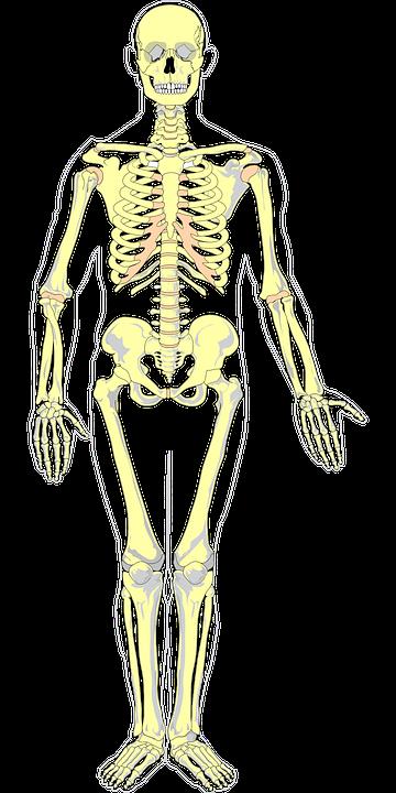 Bones Color Anatomy · Free vector graphic on Pixabay