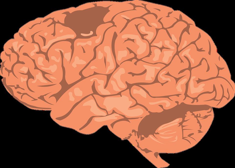 Cerebro Humana Corteza · Gráficos vectoriales gratis en Pixabay