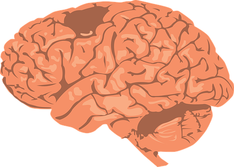 Brain, Human, Cortex, Anatomy