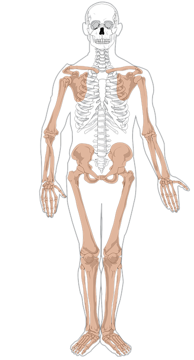 Skelett Anatomie Medizin · Kostenlose Vektorgrafik auf Pixabay