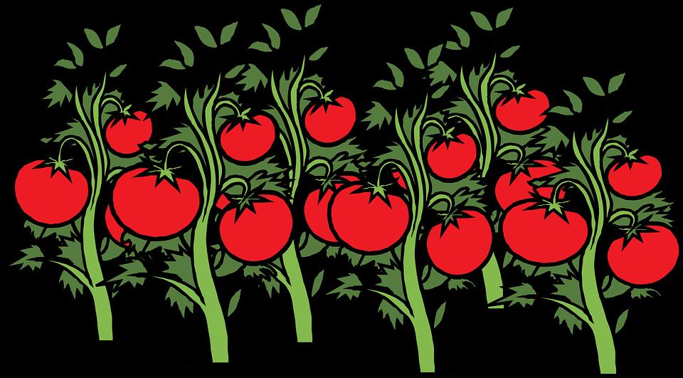 Free vector graphic Tomato Garden Vine Plants Red Free