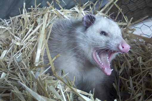 Opossum Possum Teeth Fur Animal Nest Straw