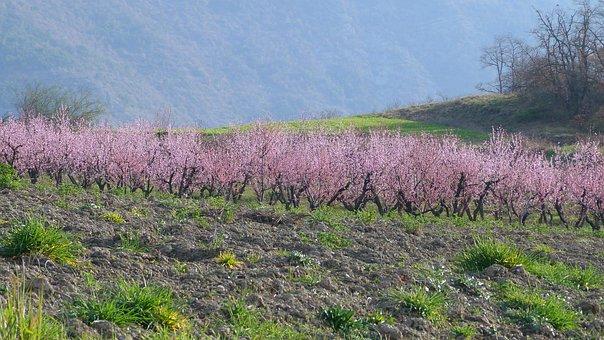 풍경, 자연, 필드, 과수원, 꽃, Arboriculture, 핑크 나무