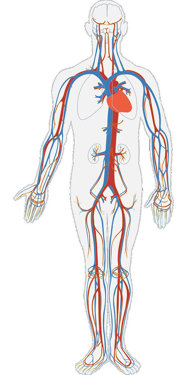 Human Body Circulatory System   Free vector graphic on Pixabay