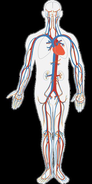 Human Body Circulatory System 183 Free Vector Graphic On Pixabay