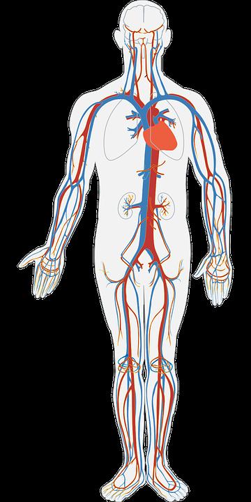 Human Body, Circulatory System, Circulation, Blood