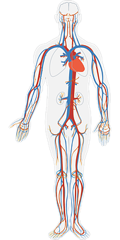 Human Body Circulatory System Circulation