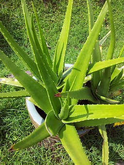Aloe Vera Health Benefits and How it Can Improve You're Well Being