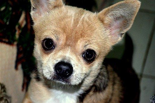 Animals, Dog, Pet, Portrait, Chihuahua