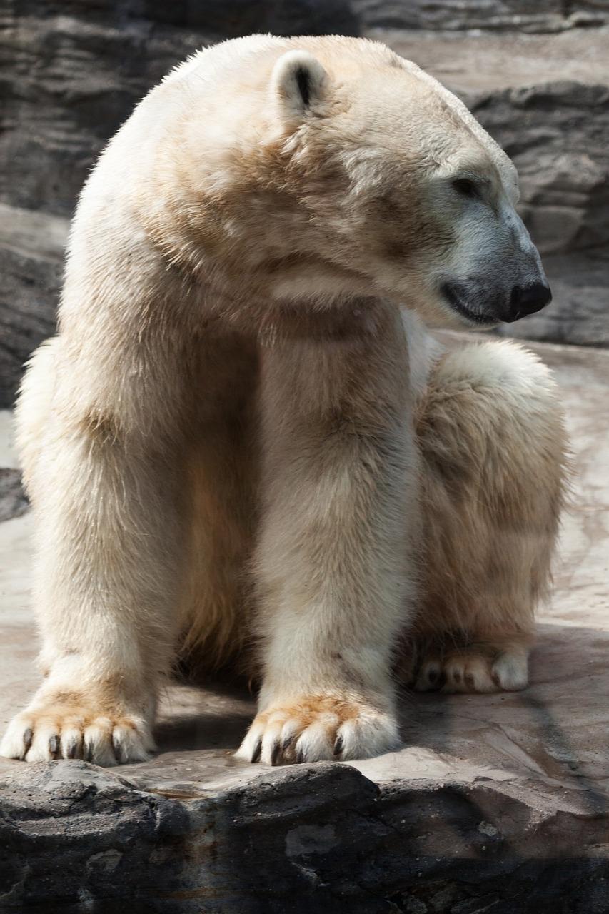 北极熊图片卡通可爱