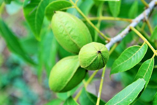 Nuts Pecan Green Elongated Tree Snack Ingr