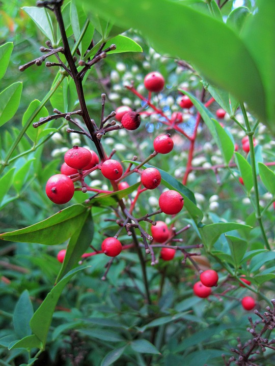 Beeren Rot Runde Heiliger Kostenloses Foto Auf Pixabay