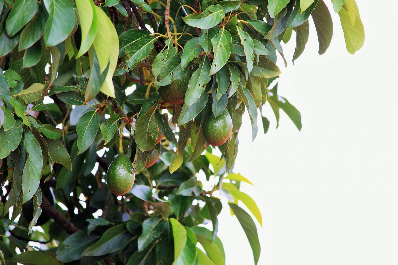 как растет авокадо дерево фото своим характеристикам