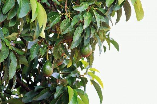 Tree, Big, Avocado, Fruit, Green, type a avocado