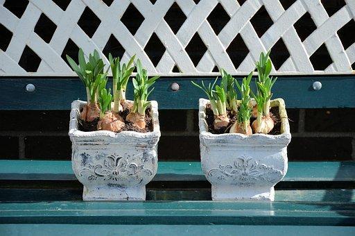 Pot, Plants, Bulb, Bulbous, Lily, Potted