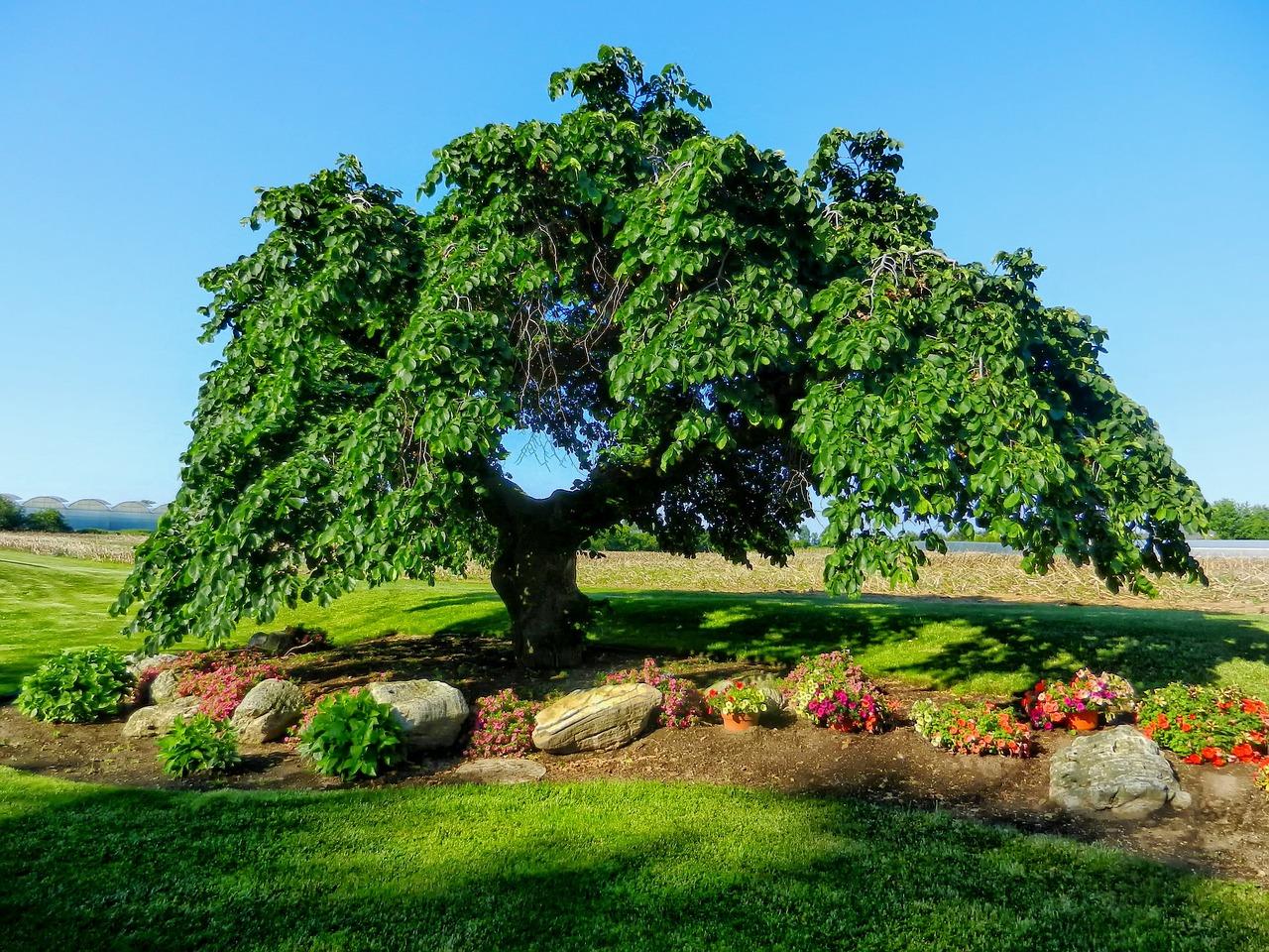 Картинка дерева карагач
