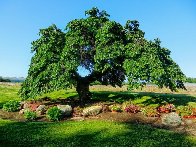 Landscaping Under Elm Trees : Free photo camperdown elm tree landscape image on pixabay