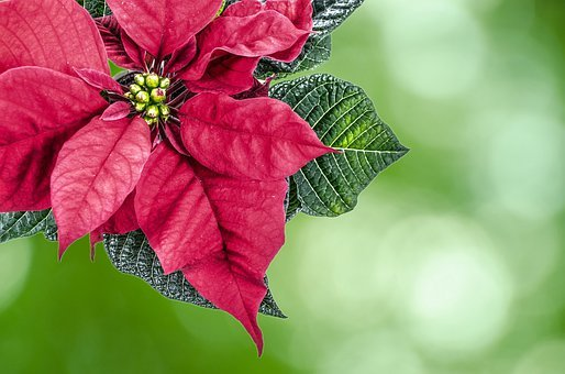 Christmas, High Key, Poinsettia Flower