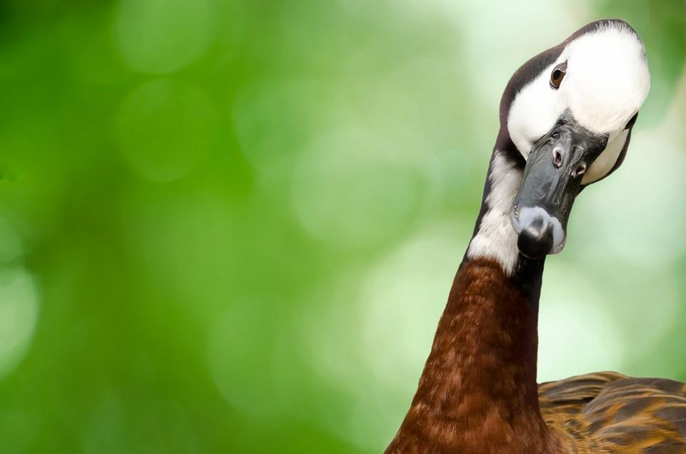 check out 33cc6 a030f Gans Vogel Tier - Kostenloses Foto auf Pixabay