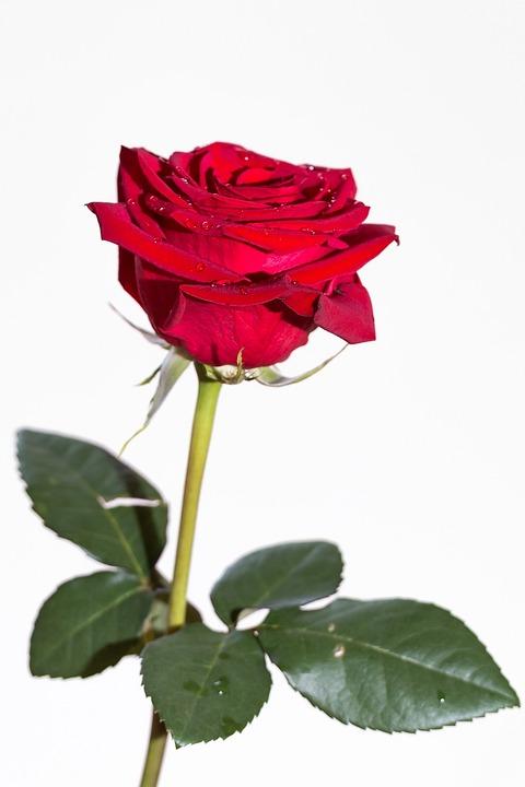photo gratuite rose plantes fleur nature femme. Black Bedroom Furniture Sets. Home Design Ideas