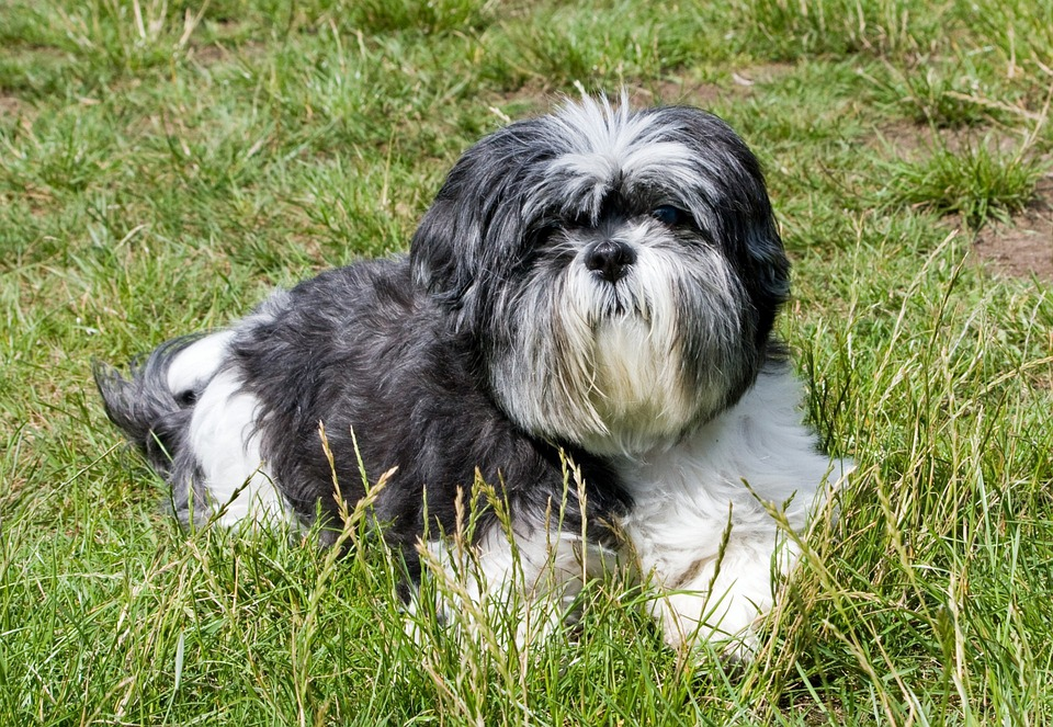 Dog, Shih Tzu, Grey, White, Laying, Grass, Cute