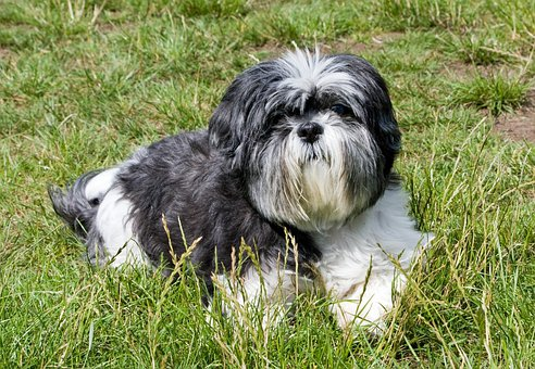 Dog, Shih Tzu, Grey, White, Laying