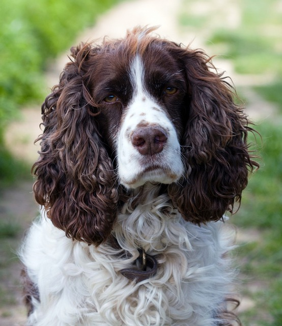 Free photo dog english springer spaniel free image for English springer spaniel coloring pages