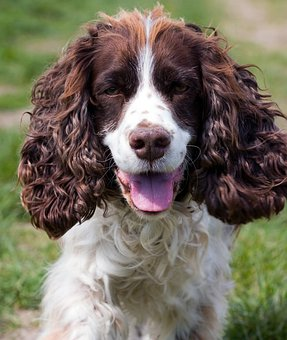 English Springer Spaniel Puppies For Sale in Virginia