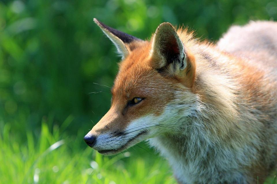 image animaux renard