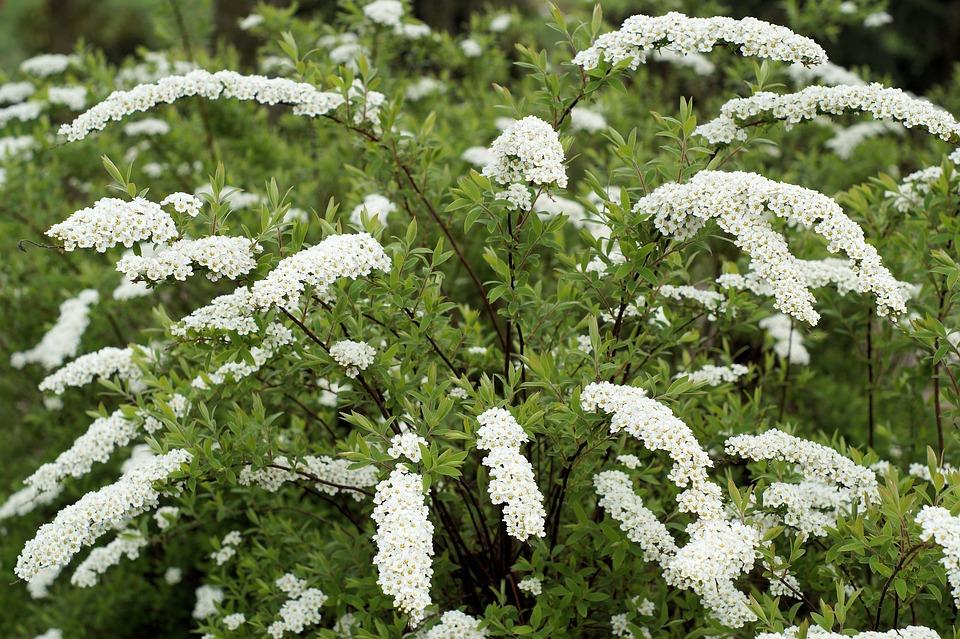 Plant bush white free photo on pixabay plant bush white fragrant flowers hawthorn mightylinksfo