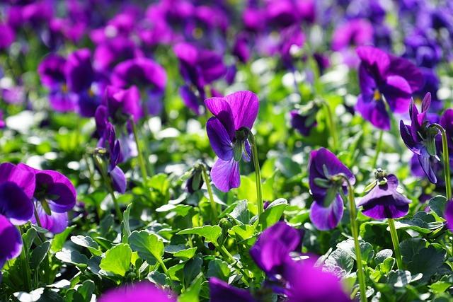 Photo gratuite violette fleur violet alto image gratuite sur pixabay 318147 - Image fleur violette gratuite ...